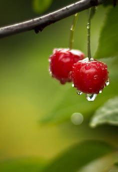 The most beautiful fruit, cherries