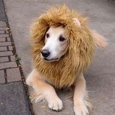 Does your beloved pet harbor dreams of becoming a lion? If so, this furry headpiece is for you. —Wit... - Courtesy