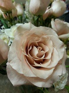 Quicksand Rose for English Tea flowers