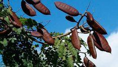 Legume fruits of 'Leopard tree' (Caesalpinia ferrea) Berry, Dieta Detox, Tree Seeds, Planting Seeds, Fruit, Dieta Fitness, Acacia, Science, River