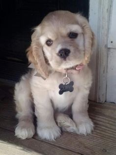 #cocker #cockerspaniel. Future Smith family dog :)