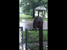 Forlorn Raccoon Cleverly Seeks Shelter Under a Decorative Umbrella on a Rainy Day in Kansas