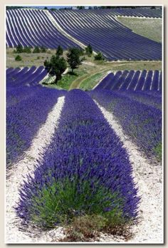 French lavender fields - gorgeous imagine the smell!