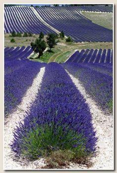 -Lavender