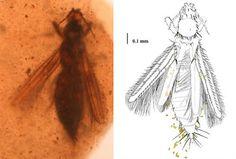 Insectos polinizadores de la época de los dinosaurios. UB.- El hallazgo realizado por el equipo internacional consiste en cuatro hembras de insectos tisanópteros -conservadas en ámbar
