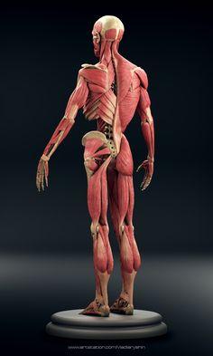 Human Body Anatomy, Muscle Anatomy, Anatomy Sketches, Anatomy Drawing, Anatomy Sculpture, Human Figure Drawing, Muscles In Your Body, Anatomy For Artists, Human Poses