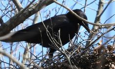Angel the Crow, tidying up the nest a bit