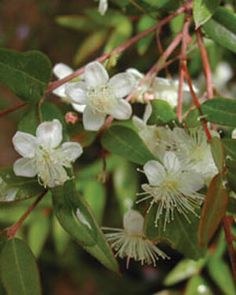 Midyim Berry- low growing shrub that can tolerate partial shade.