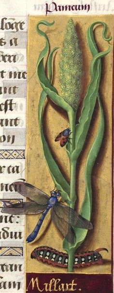 Millart - Panicum (Panicum miliaceum L. = millet des oiseaux) -- Grandes Heures…