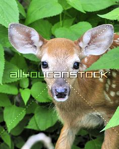 Picture of A whitetail deer fawn standing in a thicket stock photo, images and stock photography. Little Tykes, White Tail, Painted Boxes, Nature Paintings, Beautiful Birds, Mother Nature, Kangaroo, Funny Animals, Naturaleza