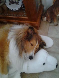 Sheltie with his bear skin rug. I had a sheltie years ago, and I still miss her with all my heart..