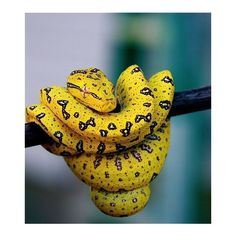 Yellow Python by Rachel Dewhirst Les Reptiles, Reptiles And Amphibians, Beautiful Creatures, Animals Beautiful, Cute Animals, Colorful Animals, Colorful Snakes, Scary Animals, Yellow Animals