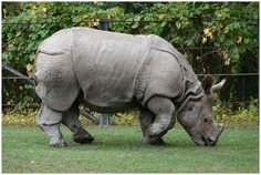 The Javan Rhinoceros No more than 60 of these swamp-dwelling Asian rhinos exist