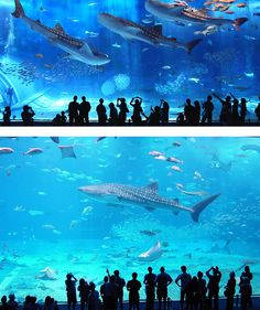 Okinawa Churaumi Aquarium, Japan. I need to go back here before I leave Japan!