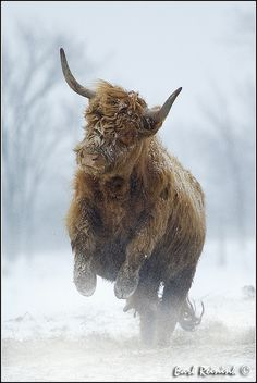 ~~Highland Cattle In a snow storm