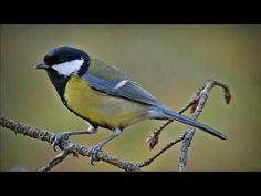 Talitiainen Blue Jay, Birds, Animals, Animales, Animaux, Bird, Animal, Animais