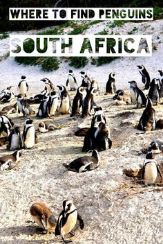 Wondering where to see penguins in the wild? Not as cold as Antarctica, the Boulders Beach penguins number in the thousands. Click to learn more about African penguins near Cape Town South Africa.