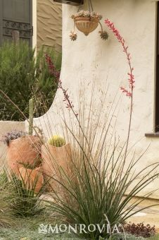 Monrovia's Red Yucca details and information. Learn more about Monrovia plants and best practices for best possible plant performance.