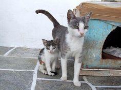 ♥CG♥ 3 Aegean Cat & Kitten Origin: Cycladic Islands of Greece