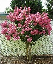 Dwarf Crape Myrtle Pink Seeds - Longest Blooming Tree