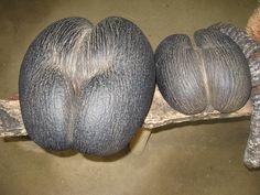 """Fruta Coco Mer llamada comúnmente """"coco-fesses"""" por su forma de trasero. Se encuentra en las  Seychelles. Es la fruta más pesada del mundo, varia entre 15 a 25kg.   http://www.reservasdecoches.com/es/alquiler-de-coches/Victoria_Car_Hire.html"""