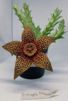Orbea variegata CV rancho vista