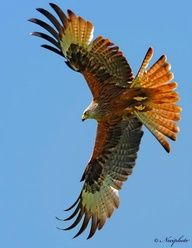 I like the colors, spread of the tail feathers, outstretched wings and curl of the tips of the wing feathers.  I don't like the angle of flight.