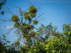 Gui : une plante parasite pour les arbres