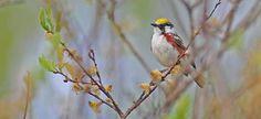 Chesnut-sided Warbler