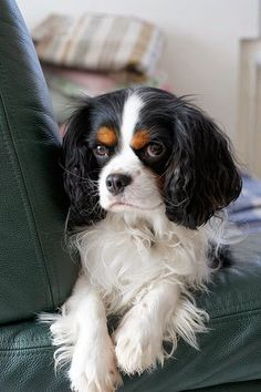 king charles cavalier spaniel pup- I've always loved these dogs! King Charles Puppy, Cavalier King Charles Dog, King Charles Spaniels, Cavalier King Spaniel, Cute Puppies, Cute Dogs, Love My Dog, Spaniel Puppies, Beautiful Dogs