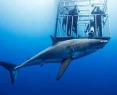 Mexico Guadalupe island cage diving for GREAT WHITES (Lifelong dream)