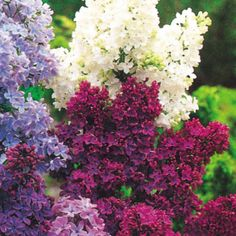 An old fashioned double flowering Lilac which is now deservedly back in Vogue. Ht 2 - 3 m. White.