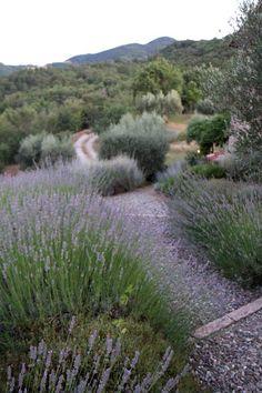 lavender lined path in Umbria Castellaro, Niccone Valley, Italia