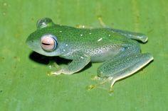 Baumfrosch aus Madagaskar                                                                                                                                                      Mehr