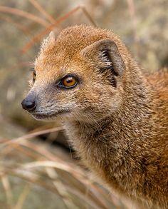 File:Yellow Mongoose 1 (6964624854).jpg