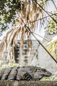 ©Iguana campechaneando, de la serie Animales. 30 de Enero 2013, Campeche, Camp; México. por Luis Sánchez.