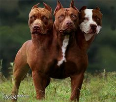Did the Greeks really think this could keep people from getting into Hades? 3 t-bones ought to do the trick. Giant Dogs, Big Dogs, Cute Dogs, Scary Dogs, Ugly Dogs, Pitbull Dog Breed, Pitbull Terrier, Baby Animals Pictures, Cute Animals