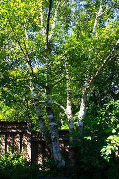 Paperbirch Home Landscaping, Trees And Shrubs, Landscape, Plants, Scenery, Landscape Paintings, Flora, Plant, Garden