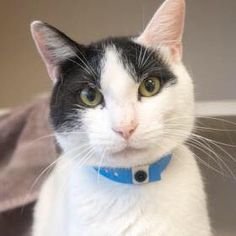Bob is the PURRfect companion for your family! Meet him at our Waterford location or see all of the pets looking for their forever homes at CThumane.org/adopt. #rescue #adoptdontshop