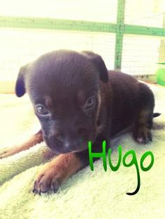 4 / 11 ***BABY ALERT*** Petango.com – Meet Hugo, a 1 month Terrier, American Pit Bull / Mix available for adoption in KINGSHILL, VI Contact Information Address RR 2 #32 Clifton Hill , Unit, KINGSHILL, VI, 00850 Phone (340) 778-1650 Website http://www.stcroixawc.org/ Email administration@stcroixawc.org