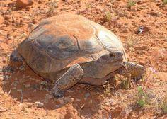 Descripción. Al igual que todas las especies de tortuga, esta criatura tiene un caparazón en la espalda que le ofrece protección contra los ...