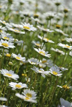 field of alpine flowers