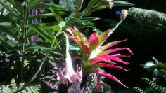 Aechmea pectinata in full bloom showing bright pink tipped leaves but a rather boring floresence (bloom) alongside a pink Brugmansia (Datura)
