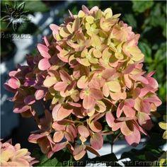 Little-LimeTM-Panicle-Hydrangea-Fall-Flower-1351794850.jpg 450×450 pixels