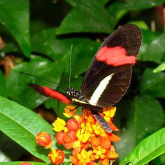 Heliconius butterflies that flit across the sunlit edges of Amazonian rain forests are natural hedonists, and it does them good because of speciation, according to genetic data.