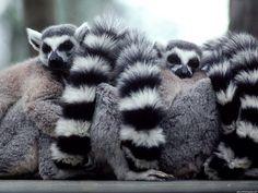Wallpaper of Lemurs for fans of Lemurs 24113696 Fluffy Animals, Baby Animals, Cute Animals, Wild Animals, Beautiful Creatures, Animals Beautiful, Power Animal, Wildlife Safari, Animal Wallpaper