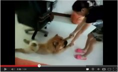 Dog plays dead to avoid taking a bath! :D Watch here: http://awesomeanimals01.blogspot.co.il/2013/06/dog-plays-dead-to-avoid-taking-bath.html#.Ub8Fu9j9fTs