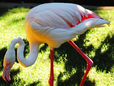 Old Greater Flamingo Adelaide Zoo #dailyshoot #leshaines  This Greater Flamingo at Adelaide Zoo is very old! And partially blind and he was tottering around around the pen in the bright sulnlight. Wamted to emphasise the amazing colours so set my camera on a short depth of field and tried to cpature the bright sulnlight. Also had to wait for the right pose! Cropped in close  and dimmed down the sulnlight a bit with the contrast.