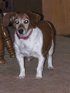 Adopted******Meet Arabella, a Petfinder adoptable Beagle Dog | New Philadelphia, OH | Arabella is approx 9 years old young! She is so loving and sweet. She would make a great companion...
