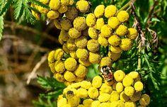 Vratič obecný (Tanacetum vulgare)-postřik z vratiče Medicinal Herbs, Holidays And Events, Fruit, Gardening, Soap, Diy, Bricolage, Lawn And Garden, Do It Yourself
